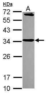 Syntaxin 6 Antibody in Western Blot (WB)