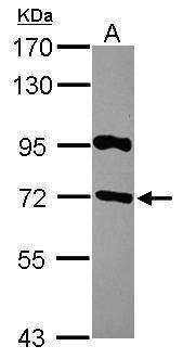 RGS14 Antibody in Western Blot (WB)