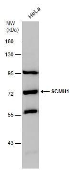 SCMH1 Antibody in Western Blot (WB)