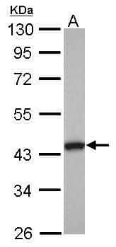 TMOD2 Antibody in Western Blot (WB)