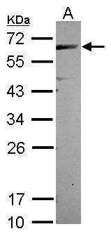 CEP57 Antibody in Western Blot (WB)