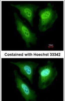 FBXL4 Antibody in Immunofluorescence (IF)