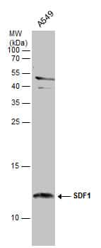 CXCL12 Antibody in Western Blot (WB)