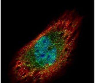 EXOSC3 Antibody in Immunofluorescence (IF)