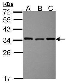 EXOSC3 Antibody in Western Blot (WB)