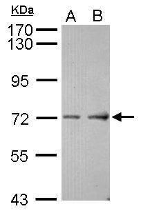 ASIC4 Antibody in Western Blot (WB)