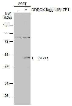 BLZF1 Antibody in Western Blot (WB)