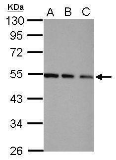 TRIP15 Antibody in Western Blot (WB)