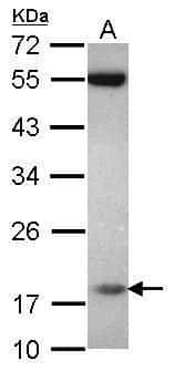 PPIL3 Antibody in Western Blot (WB)
