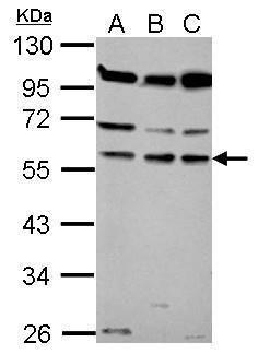 Coronin 1B Antibody in Western Blot (WB)