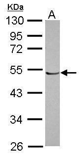 POLR1E Antibody in Western Blot (WB)