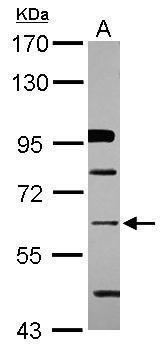 ZNF426 Antibody in Western Blot (WB)