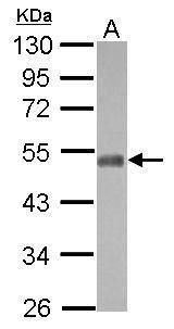 NFIX Antibody in Western Blot (WB)