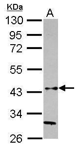 HAPLN3 Antibody in Western Blot (WB)