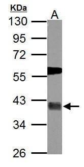 USP46 Antibody in Western Blot (WB)