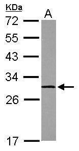 Calpain S1 Antibody in Western Blot (WB)