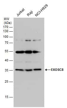 EXOSC8 Antibody in Western Blot (WB)