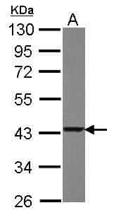 TXNL2 Antibody in Western Blot (WB)
