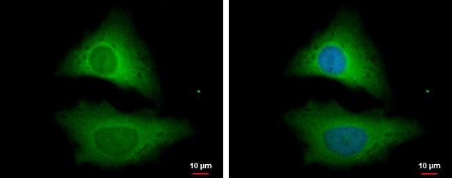 STRAP Antibody in Immunofluorescence (IF)