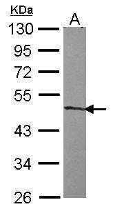 ZNF239 Antibody in Western Blot (WB)
