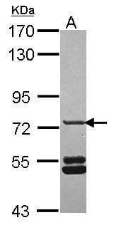 SNX33 Antibody in Western Blot (WB)