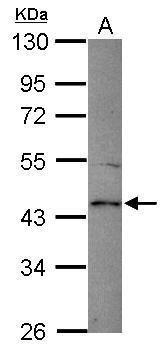 Spinesin Antibody in Western Blot (WB)