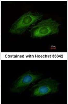 OSBPL10 Antibody in Immunofluorescence (IF)