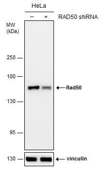 RAD50 Antibody