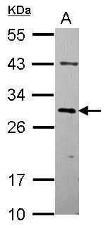OVOL2 Antibody in Western Blot (WB)
