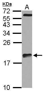 ARPC5L Antibody in Western Blot (WB)