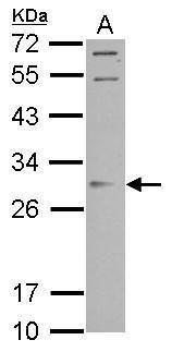 ORAI2 Antibody in Western Blot (WB)
