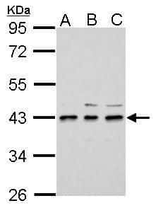 UPP2 Antibody in Western Blot (WB)