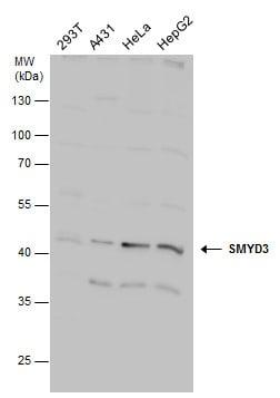 SMYD3 Antibody in Western Blot (WB)