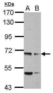 MYO19 Antibody in Western Blot (WB)