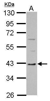 TMEM59L Antibody in Western Blot (WB)