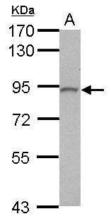 PLCD3 Antibody in Western Blot (WB)