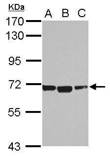 ACSM1 Antibody in Western Blot (WB)