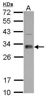FHL1 Antibody in Western Blot (WB)