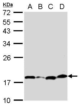Bcl-xS Antibody in Western Blot (WB)