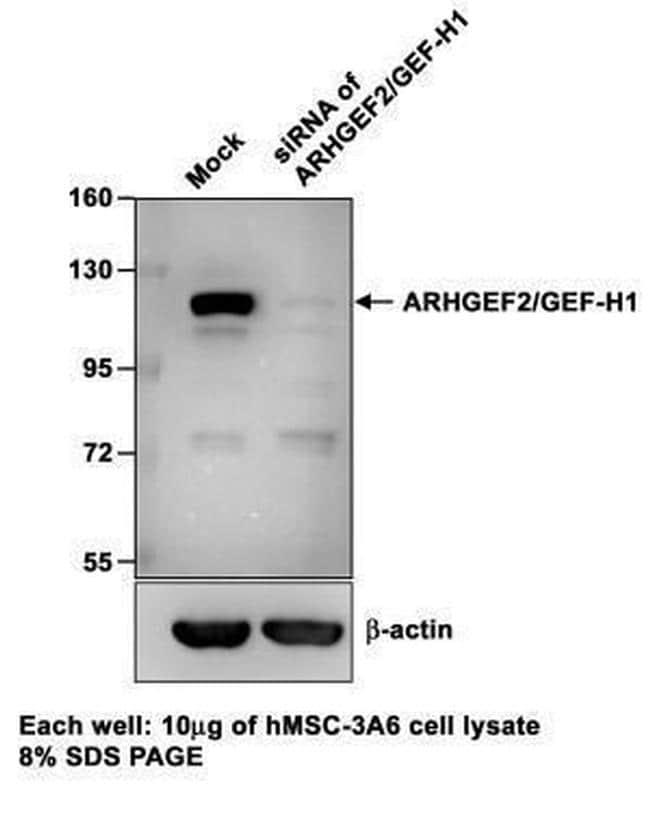 GEF-H1 Antibody in Knockdown