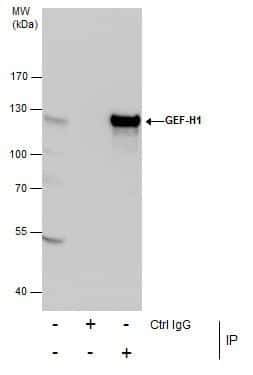 GEF-H1 Antibody in Immunoprecipitation (IP)