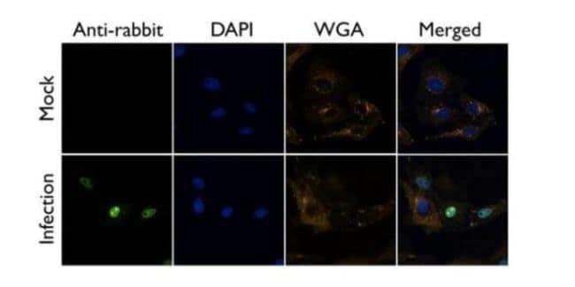 Influenza A NS1 Antibody in Immunofluorescence (IF)