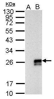 Influenza A NS1 Antibody in Western Blot (WB)