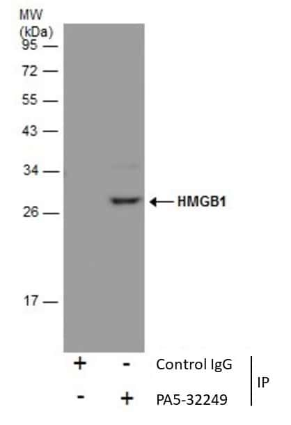 HMGB1 Antibody in Immunoprecipitation (IP)