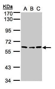 Angiopoietin 4 Antibody in Western Blot (WB)
