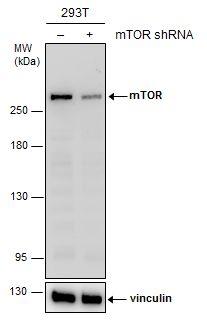 mTOR Antibody in Knockdown