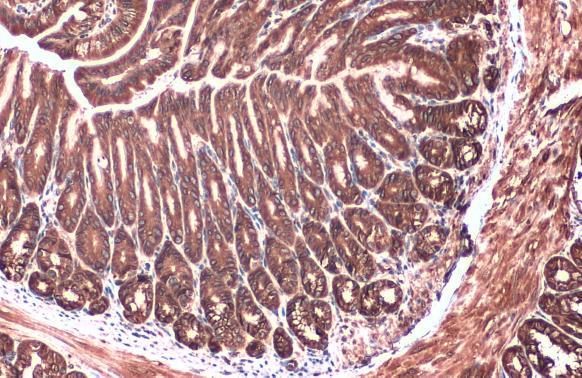 Calnexin Antibody in Immunohistochemistry (Paraffin) (IHC (P))