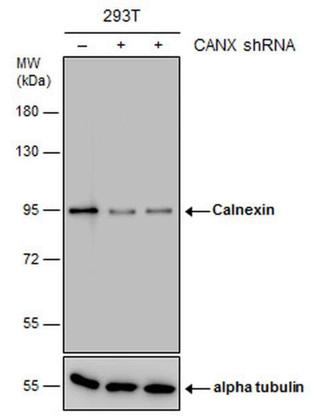 Calnexin Antibody in Knockdown