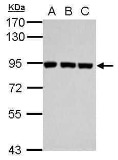 Plasminogen Antibody in Western Blot (WB)
