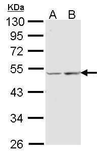 COX15 Antibody in Western Blot (WB)